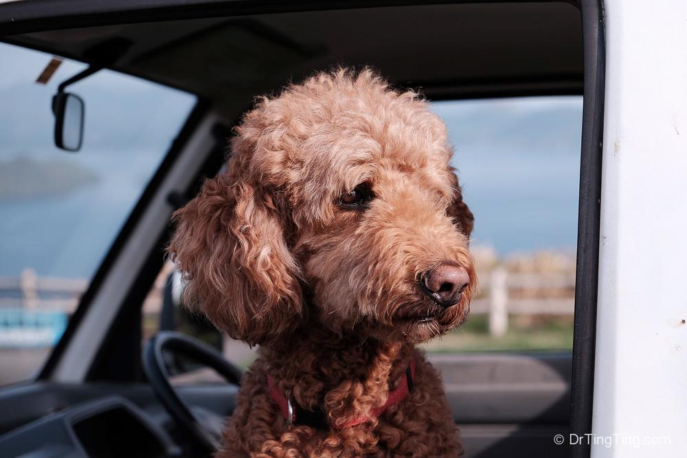 和狗兒第一次見面,為什麼你不應該摸牠的頭